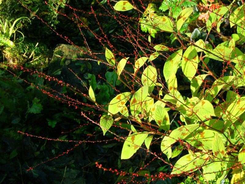 Vermiculite For Plants Persicaria virginiana ...