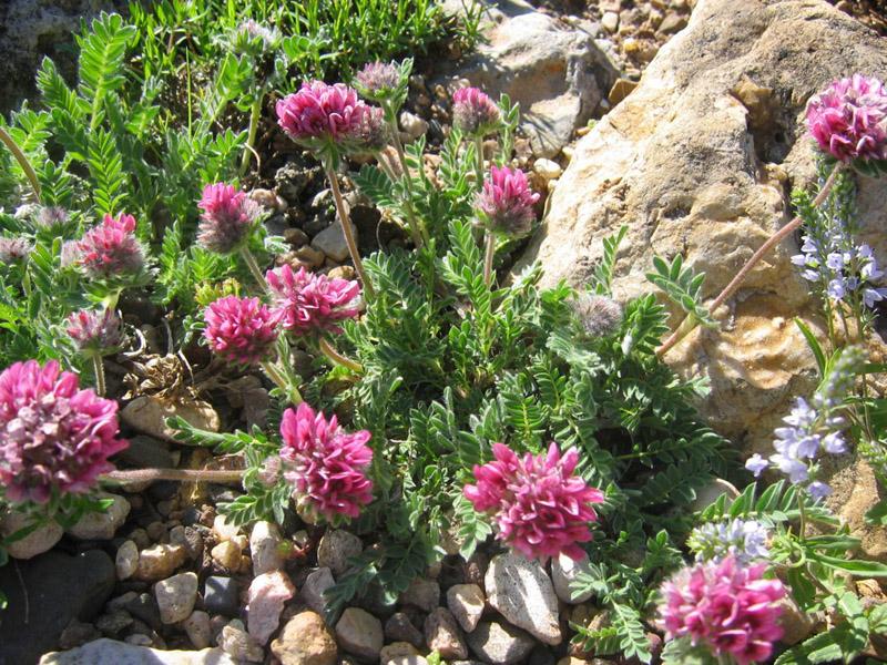 Vermiculite For Plants Anthyllis montana 'Rub...