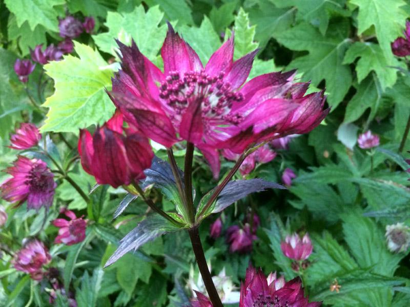 Vermiculite For Plants Astrantia 'Gill Richar...