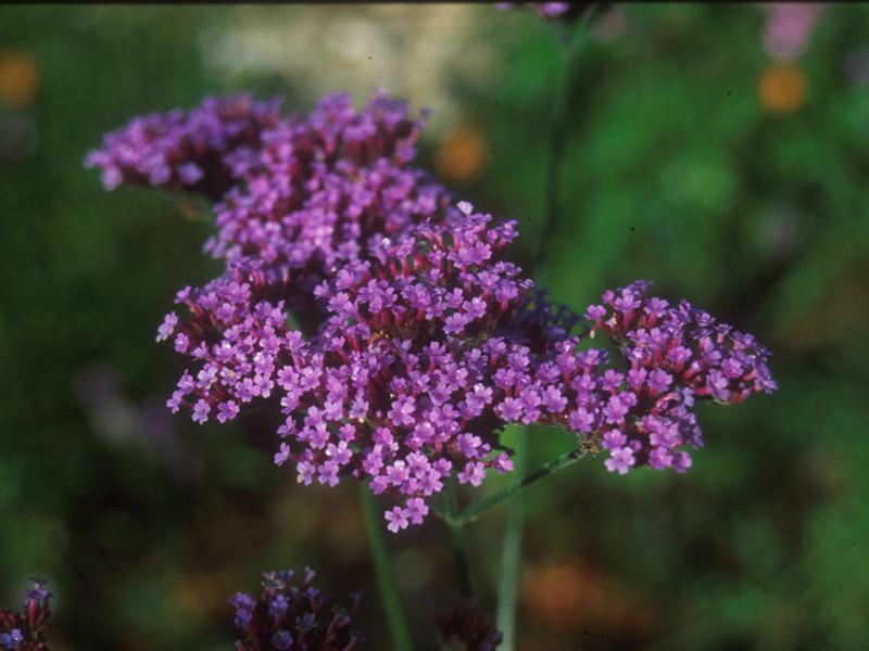 Vermiculite For Plants Verbena bonariensis