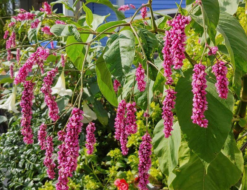 Vermiculite For Plants Persicaria orientalis