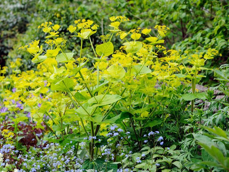 Vermiculite For Plants Smyrnium perfoliatum