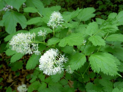Actaea spicata - medium image 1