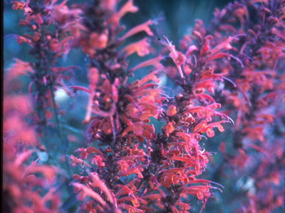 Agastache ex 'Painted Lady' - medium image 1