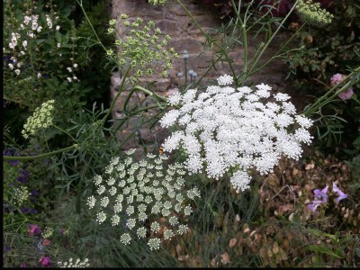 Ammi majus - medium image 1