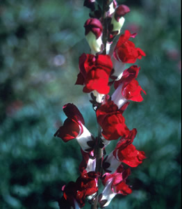 Antirrhinum 'Night & Day' - medium image 1