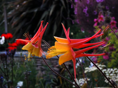 Aquilegia 'Tequila Sunrise' - medium image 1