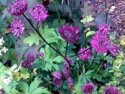 Astrantia 'Gill Richardson' - medium image 1