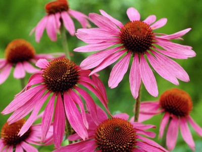 Echinacea purpurea 'Magnus Superior' - medium image 1