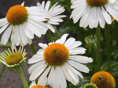Echinacea purpurea 'Primadonna White' - medium image 1