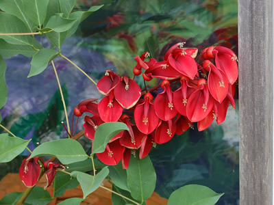 Erythrina crista-galli - medium image 1