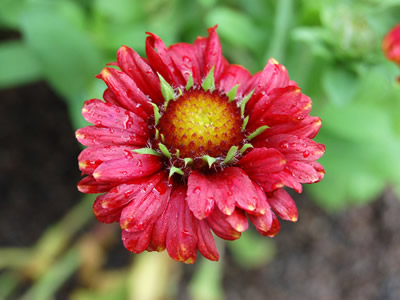 Gaillardia 'Burgundy' - medium image 1