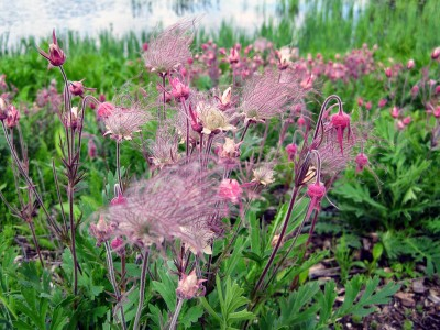 Geum triflorum - medium image 1