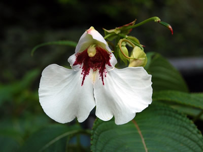 Impatiens tinctoria - medium image 1