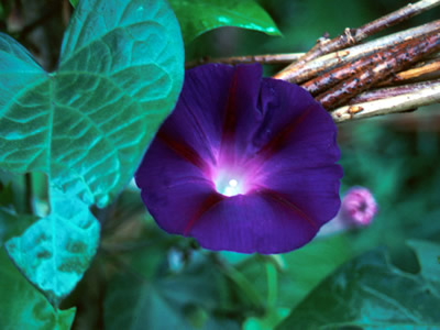 Ipomoea 'Kniola's Black Knight' - medium image 1