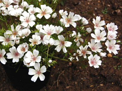 Limnanthes douglasii rosea - medium image 1