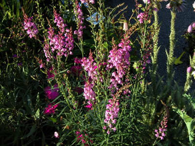 Linaria purpurea deep rose - medium image 1