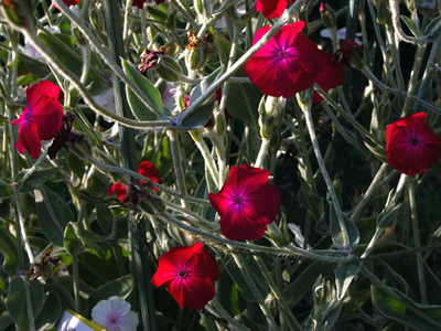 Lychnis coronaria 'Blood Red' - medium image 1