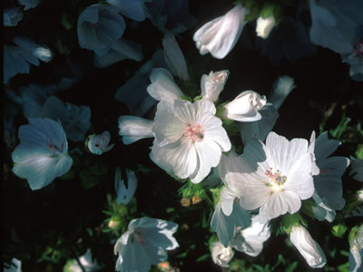 Malva moschata 'Alba' - medium image 1