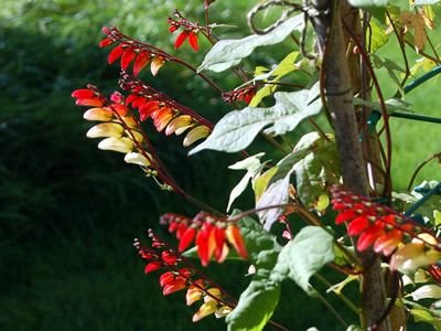 Mina lobata - medium image 1