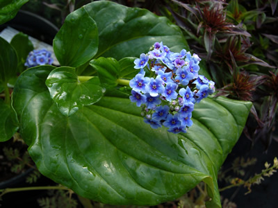 Myosotidium hortensia - medium image 1