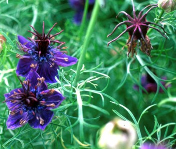 Nigella papillosa 'Midnight' - medium image 1