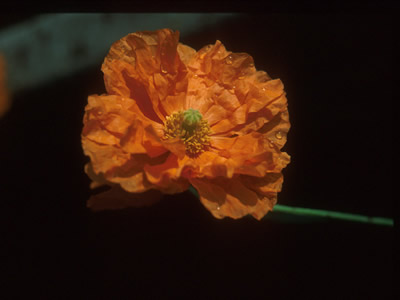 Papaver rupifragum - medium image 1