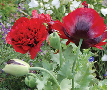 Papaver somniferum 'Boudoir Babe' - medium image 1