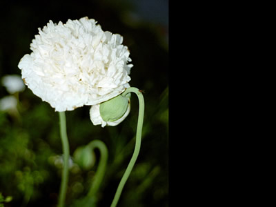 Papaver somniferum 'White Cloud' - medium image 1