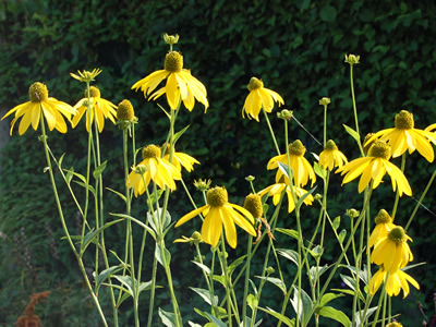 Rudbeckia laciniata - medium image 1