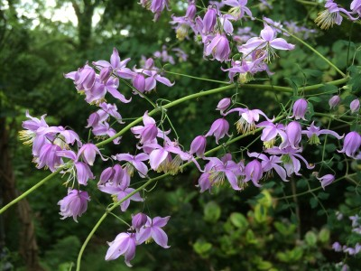 Thalictrum delavayi var. 'Decorum' - medium image 1