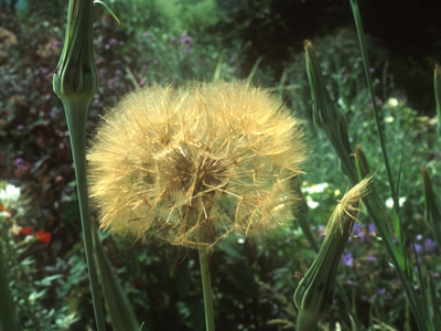 Tragopogon crocifolius - medium image 1