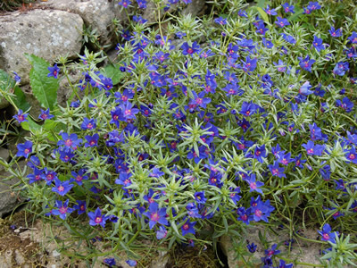Anagallis monellii 'Blue Light' - medium image 2