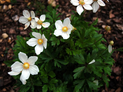 Anemone sylvestris - medium image 2