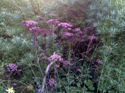 Angelica sylvestris 'Purpurea' - medium image 2