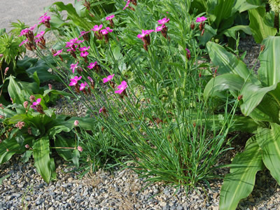 Dianthus carthusianorum - medium image 2