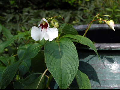 Impatiens tinctoria - medium image 2