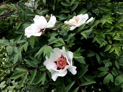 Paeonia rockii - medium image 2
