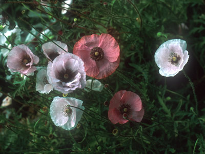 Papaver rhoeas 'Mother of Pearl' - medium image 2