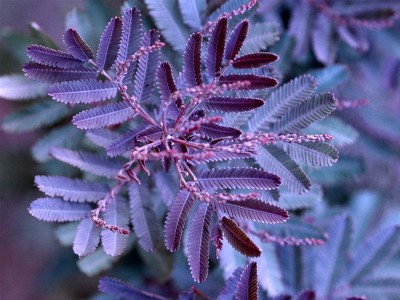 Acacia baileyana 'Purpurea' - medium image 3