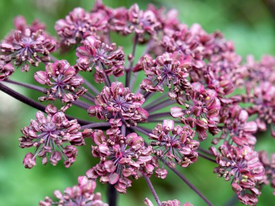 Angelica sylvestris 'Purpurea' - medium image 3