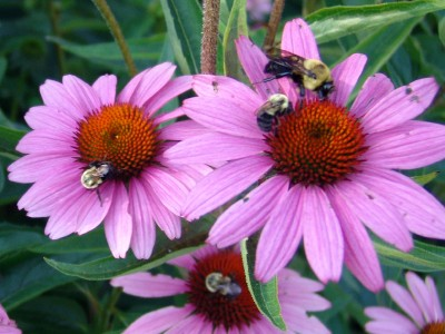 Echinacea purpurea 'Magnus Superior' - medium image 3