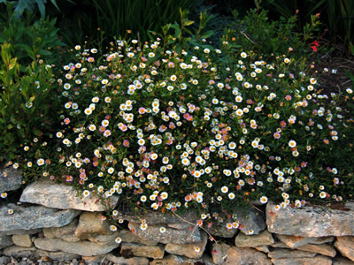 Erigeron karvinskianus - medium image 3