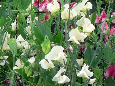 Lathyrus odoratus 'Mrs Collier' - medium image 3