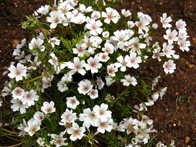 Limnanthes douglasii rosea - medium image 3