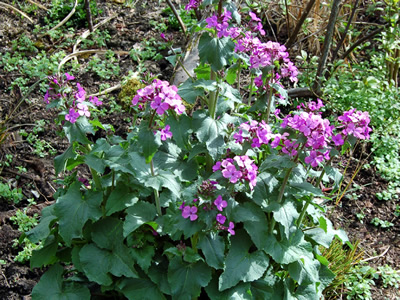 Lunaria annua 'Munstead Purple' - medium image 3