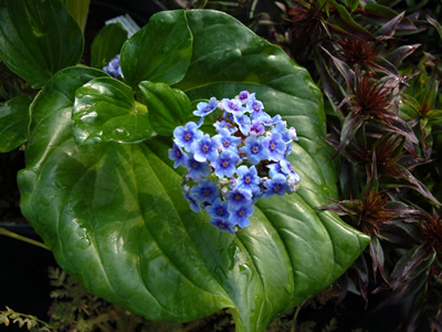 Myosotidium hortensia - medium image 3
