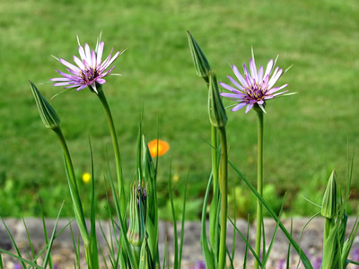Tragopogon crocifolius - medium image 3