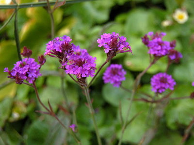 Verbena rigida - medium image 3