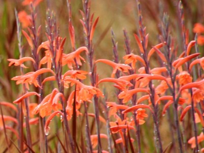 Watsonia pillansii - medium image 3